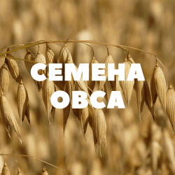 Семена ярового овса на посев