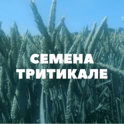 Семена озимой тритикале на посев