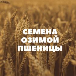 Семена озимой пшеницы на посев